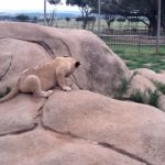 The Lion Cub Encounter
